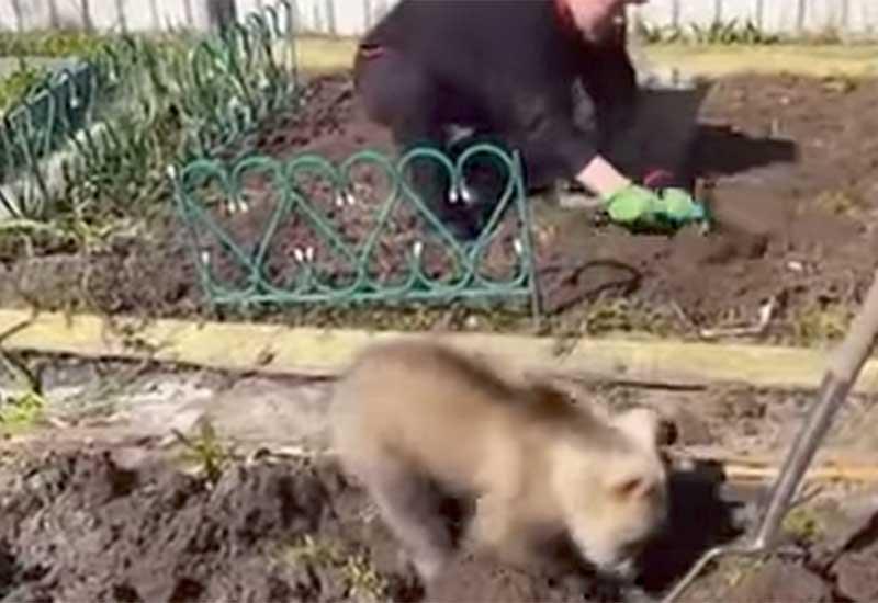 Това малко мече, което помага с прекопаването на градината е дефиницията за очарователно